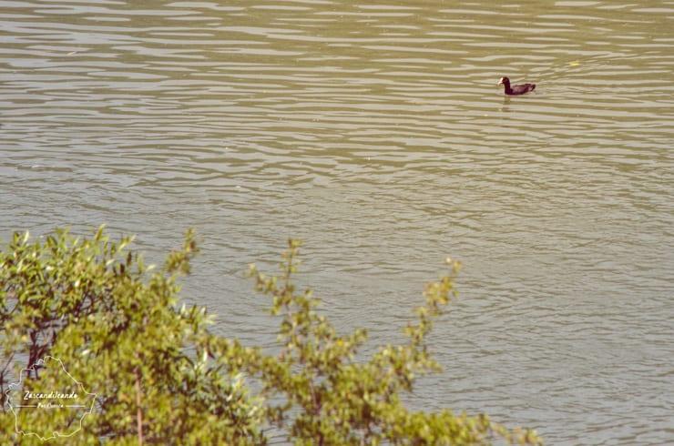 Pato en la Laguna de Uña, Cuenca