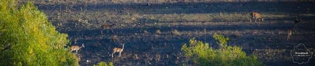 La berrea del ciervo y la ronca del gamo, con Azeral
