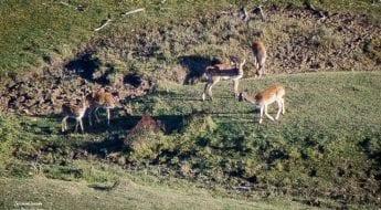 Berrea del ciervo y ronca del gamo en la Serranía de Cuenca