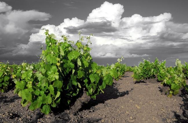 Es fabuloso el aspecto que poseen las viñas de Bodegas Campos Reales