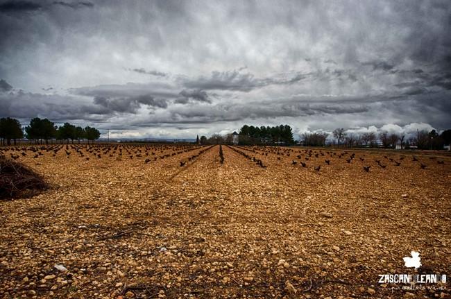 Innumerables hectáreas de viñedos ocupan el término municipal de Tomelloso