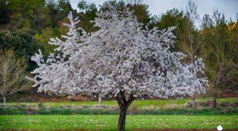Almendro en flor en el término municipal de Portilla