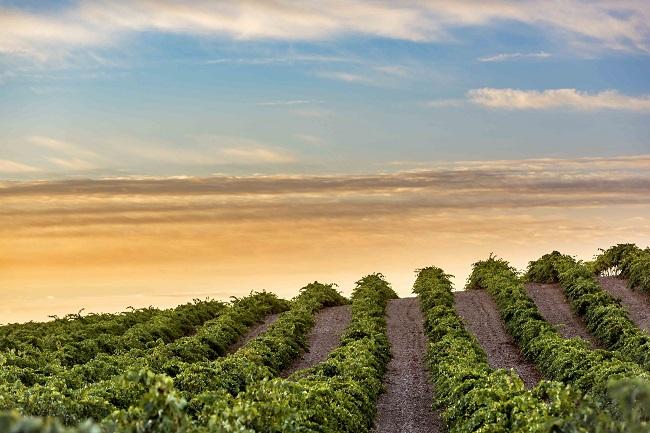 Puesta de sol en los viñedos de La Estacada