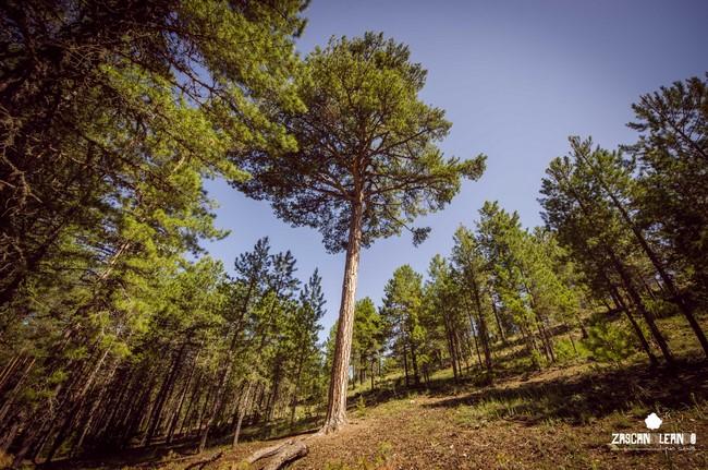 El tronco del pino del Ocejón deja impresionado al visitante