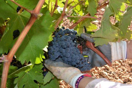 Vendimiando en los viñedos de Finca La Estacada